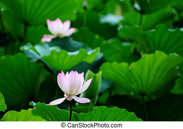 lotus, bloem