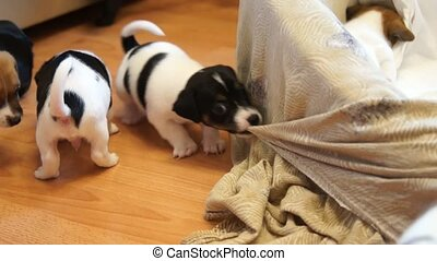 Jack Russell Terrier puppies - Puppy Jack Russell Terrier....