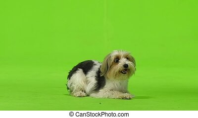 Yorkshire terrier wants to drink. Green screen. Slow motion...