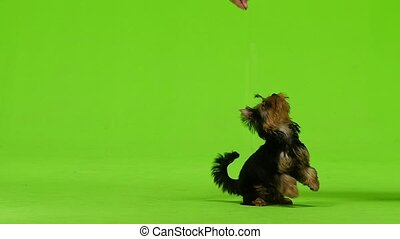 Dog on his hind legs asks for food. Green screen. Slow...