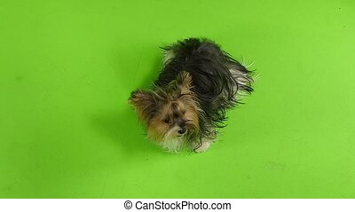 Yorkshire terrier shows the language. Green screen. Slow...