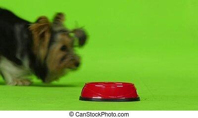 Dog eats. Green screen. Slow motion - Dog runs up to his...