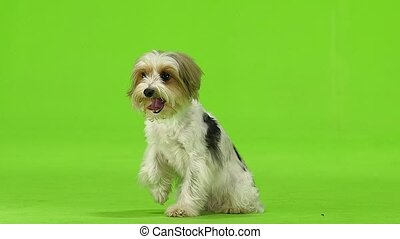 Dog raised his paw and stuck out his tongue. Green screen....