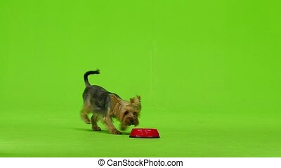 Yorkshire Terrier with a tail eats. Green screen. Slow...