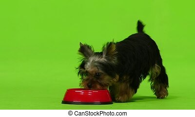 Yorkshire Terrier eats his food from the floor. Green...