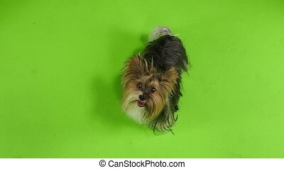 Dog looks around. Green screen. Slow motion - Dog shows his...