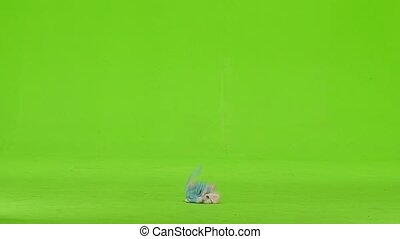 Yorick holds a toy in his mouth and runs away. Green screen....