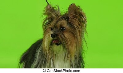 Dog on a leash sits in the studio. Green screen. Slow motion...