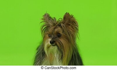 Dog shows the language. Green screen. Slow motion - Dog...