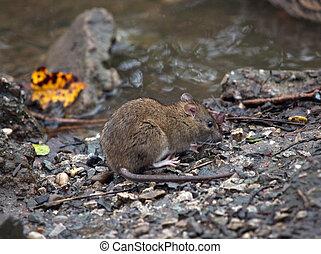 Rat by a lake