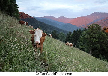 some young cows on a field in the bavarian mountains