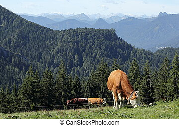 some brown cows on a field in the bavarian mountains