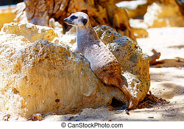 Meerkat on sand, Suricata suricatta. Brown color. - Meerkat...