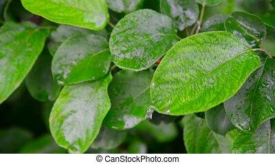 Wet leaves apple tree in rain - Wet leaves apple tree in the...