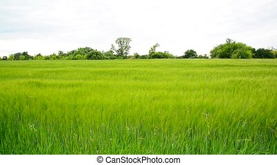 Young green rye field in June. Russia