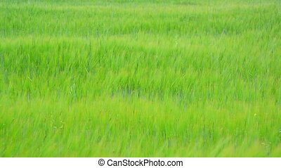 Young green rye field in June. Russia - Young green rye...