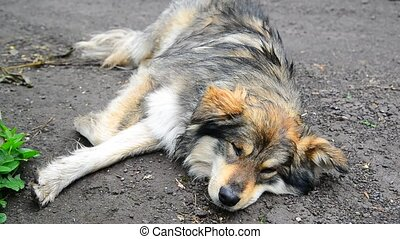 Shaggy mongrel lies in damp ground - Shaggy mongrel lies in...