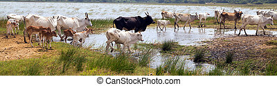 white cows sri lanka - Cows grazing on a green summer meadow...