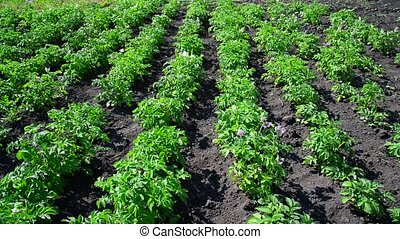 Plain beds of potatoes in field - Plain beds of potatoes in...