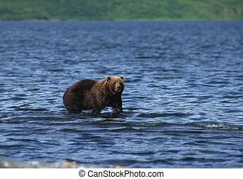 Kodiak Brown Bear Fishing