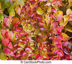 Boston Ivy - Parthenocissus tricuspidata full of color in...