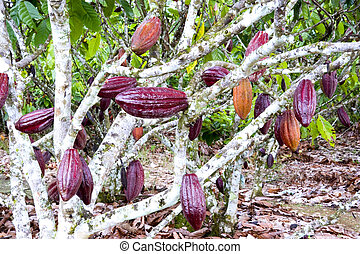 Cocoa Tree - Image of a cocoa tree at a plantation in...