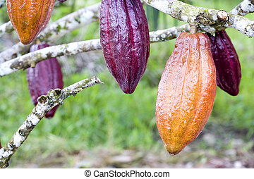 Cocoa Pods - Image of cocoa pods at a plantation in Malaysia...