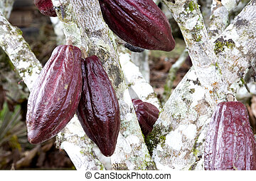 Cocoa Pods - Image of cocoa pods at a plantation in...