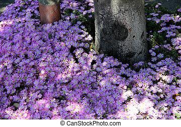 Broadleaf Liriope, Big blue lilyturf under trees in San...