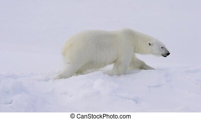 Polar bear walking on the ice. - Polar bear walking on the...