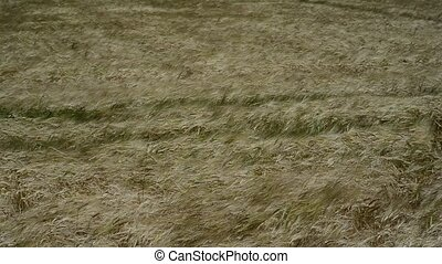 Wheat field. Wind blows and moves the spikelets - Wheat...