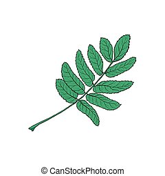Hand drawn green rowan, ash tree leaf, sketch style vector...