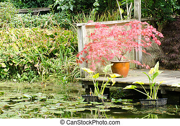 Acer by watergarden - Red Acer by watergarden