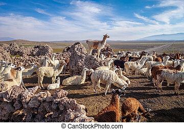 Lamas herd in Bolivia - Lamas Lamas herd in Eduardo Avaroa...