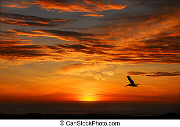 Pelican Sunset, Half Moon Bay Calif - A Pelican Flying Into...