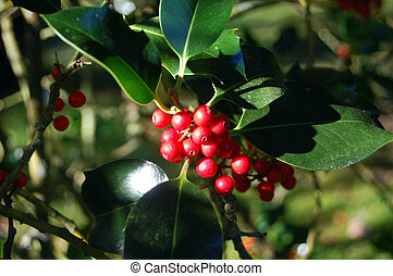 outdoor holly bush