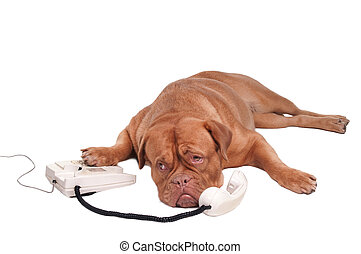 Dogue chatting - Dogue de bordeaux talking on the phone