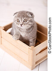 Cute Scottish cat with big yellow eyes sits in a wooden box