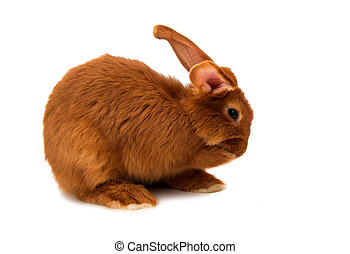 Red rabbit isolated on white background