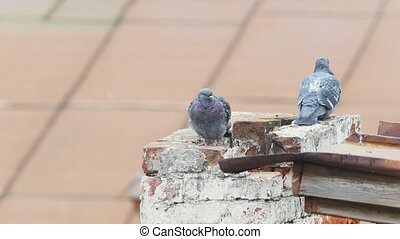 City birds - pigeon on the pipeline of roof, telephoto shot