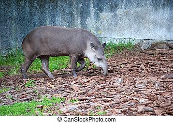 Brazilian tapir - Brazilian or South American tapir in...