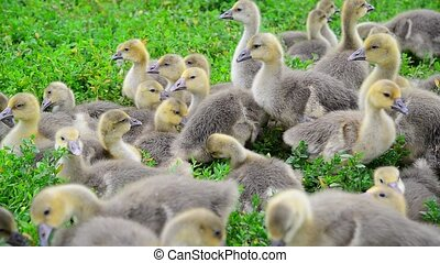 brood of young goslings nibble grass - a brood of young...