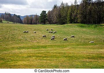 Sheeps graze in a field outside of Balmoral Castle, Scotland