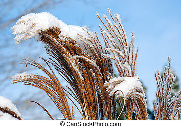 Winter Beach Grass - Snow on beach grass.
