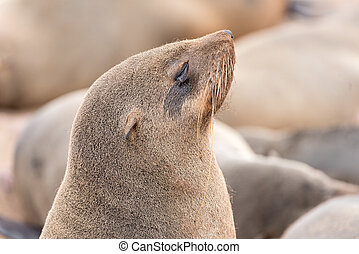 Close-up of a Cape Fur Seal at Cape Cross - Close-up of a...