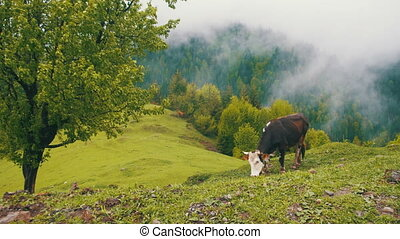 Cow Grazing on a Meadow. Top of Mountain Hill Among the...