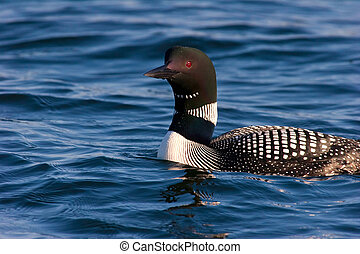 Common Loon in Mating Plumage On Wisconsin Lake - Common...