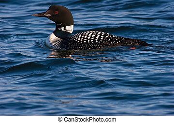 Adult Common Loon In Mating Plumage - Adult Common Loon...