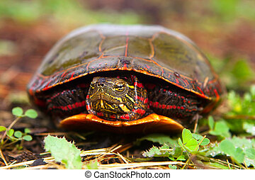 Curious Turtle Peeks Head From Shell - Painted Turtle Hiding...