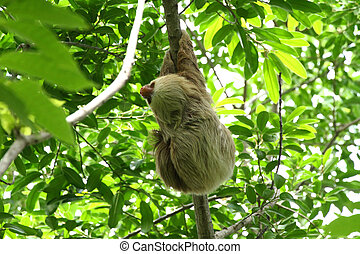 Sloth in the Jungle of Central America